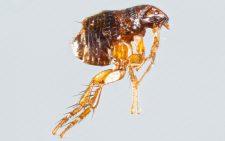 Close up female ctenocephalides felis or cat flea isolated on gray background