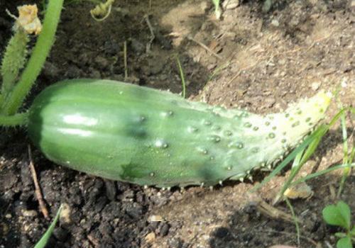 Скручивание огурцов при неблагоприятных условиях выращивания