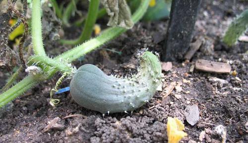 Неправильное выращивание огурцов при нарушенном севообороте