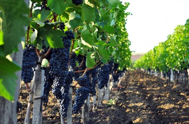 Как правильно обрезать виноград первого года осенью