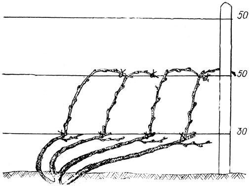 Одно и двухсторонние формовки винограда