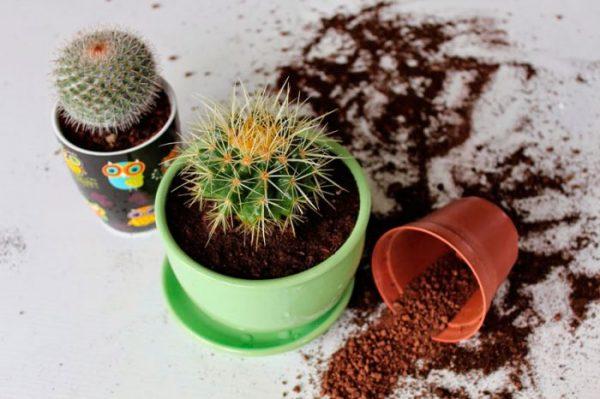 Когда нужно пересаживать кактусы