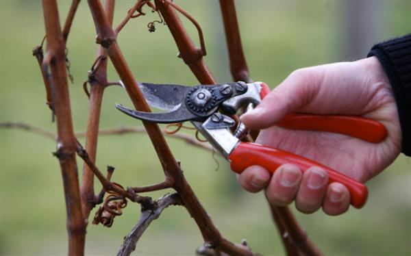 Чем лучше обрезать виноград