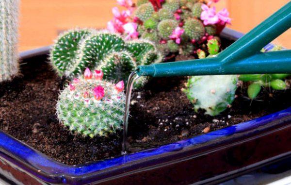 Полив кактусов в летний период