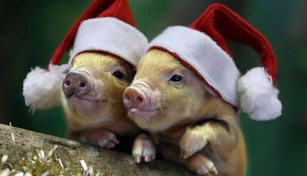 Что нам предвещает год Свиньи