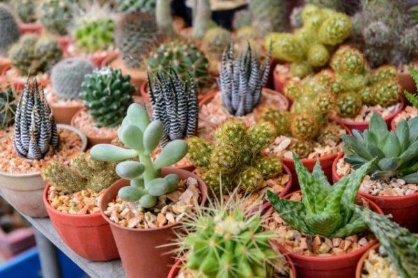 Разные сорта кактусов