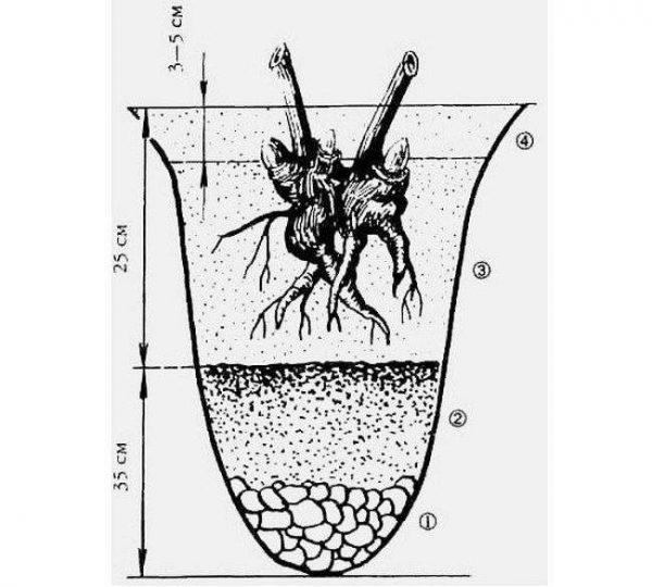Размер ямы для пересадки пионов