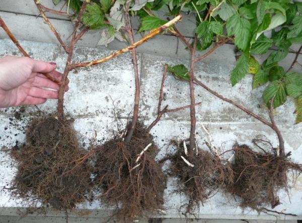 Для посадки лучше выбирать крепкие растения