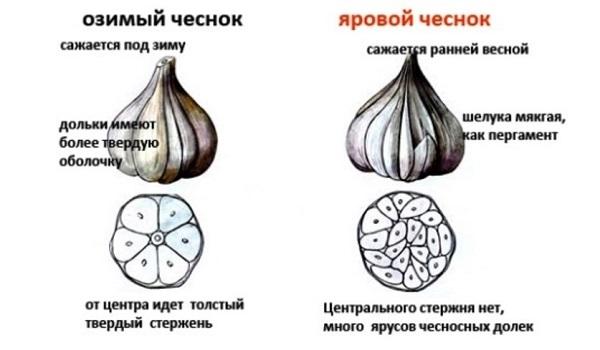 Когда сажать чеснок под зиму в 2018 году в Подмосковье по лунному календарю