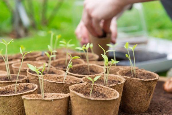 Уже в феврале можно посадить капусту