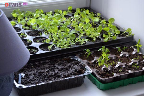 Посадка петунии на рассаду в зависимости от климатических особенностей региона