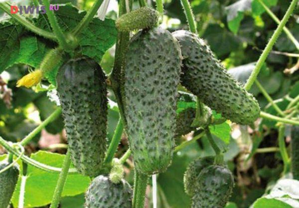 Выращивание огурцов Герман в открытом грунте