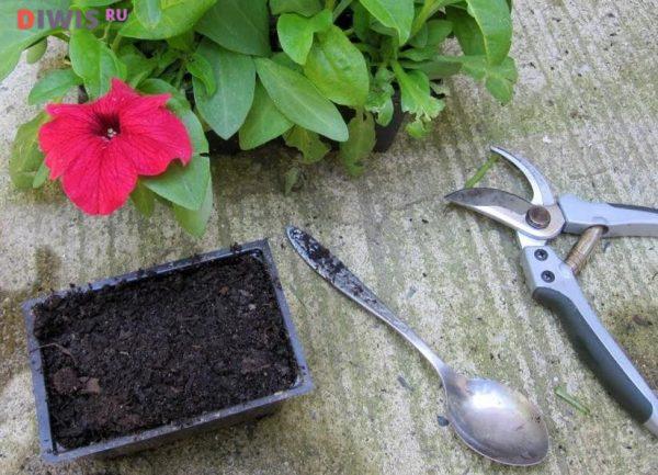 Когда нужно сажать петунию на рассаду в 2019 году?