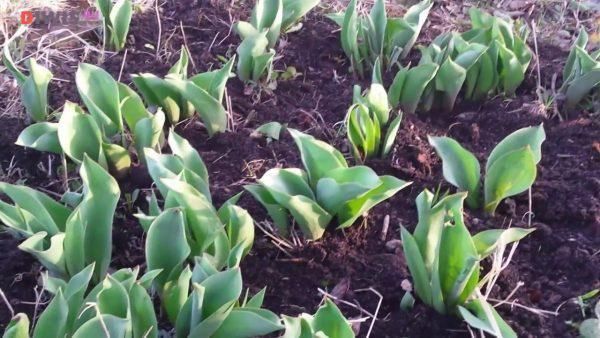 Посадка и уход осенью за Тюльпанами
